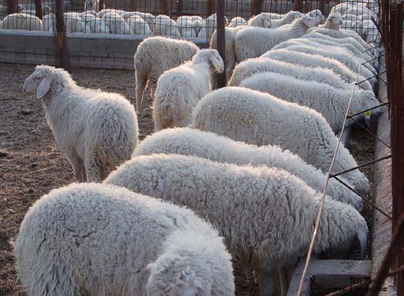 供应山东小尾寒羊养羊效益小尾寒羊养羊技术