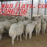 供应小尾寒羊养殖基地小尾寒羊种羊羔羊价格
