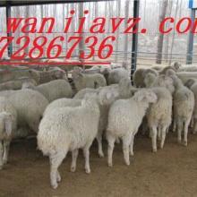 供应小尾寒羊养殖基地小尾寒羊种羊羔羊价格图片