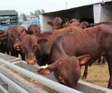 鲁西黄牛养牛场供应利木赞牛鲁西黄牛西门塔尔牛夏洛莱牛价格