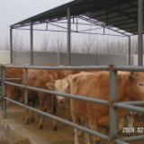 供应西门塔尔牛肉牛牛犊养殖技术