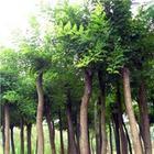供应各种规格国槐果树