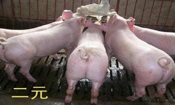 陕西仔猪图片