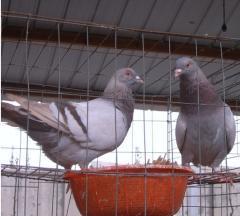 鸽养殖场图片/鸽养殖场样板图 (2)