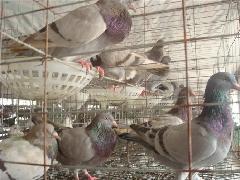 鸽养殖场图片/鸽养殖场样板图 (3)