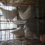 供应界首市鸽子,界首市鸽子价格,界首市鸽子供应商