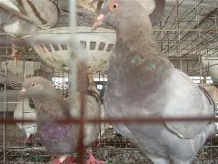 鸽养殖场图片/鸽养殖场样板图 (4)
