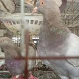 供应蚌埠市养鸽场