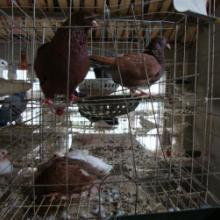 供应阜阳太和县大型肉鸽养殖场批发