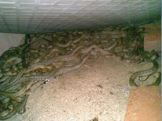 东养蛇场_供应广西南宁养蛇场特种养殖大王蛇