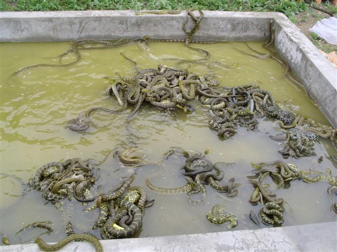 特种养殖图片|特种养殖样板图|广西南宁养蛇场