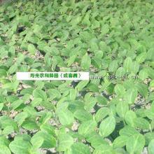【专利】寿光农科专业培育大棚种苗/特种蔬菜种苗/蔬菜嫁接
