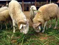 供应波尔山羊小尾寒羊白山羊价格博宏牧业