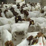 羊羔价格波尔山羊小尾寒羊图片