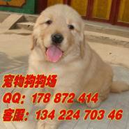 广州市区金毛犬专业繁殖场图片
