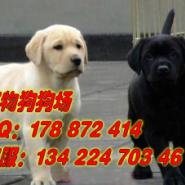广州哪里有卖拉布拉多犬图片