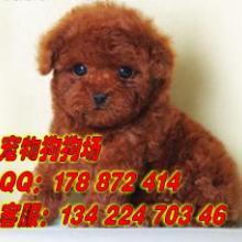 供应泰迪熊广州市区哪里有卖泰迪熊 广州市区正规宠物狗狗场出售