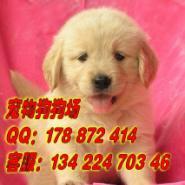 广州边度有卖金毛犬宠物狗图片