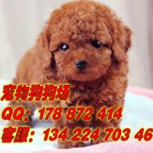 供应广州纯种贵宾犬怎么看贵宾犬
