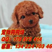 供应广州纯种宠物狗贵宾犬广州那有卖贵宾犬