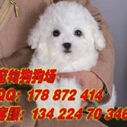 广州那里有卖比熊犬图片