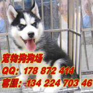 广州宠物狗狗场出售名犬哈士奇图片