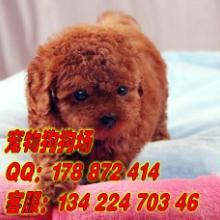 供应贵宾犬怎么养贵宾犬多少钱广州贵宾犬