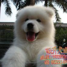出售广州纯种萨摩耶犬 听话乖巧的白色萨摩耶狗图片