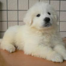 广州纯种大白熊哪里有 广州大白熊多少钱一只 驲升健康大白熊