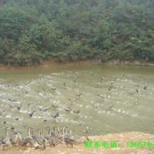 供应  湖南大雁鹅苗对于种雁的饲喂
