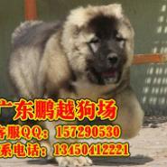 佛山哪有卖纯种高加索幼犬图片