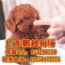 供应中山什么地方有卖纯种贵宾犬 中山纯种贵宾犬的价格是多少