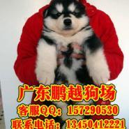 广州边度有正规狗场卖纯种阿拉斯加图片