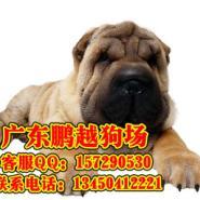 佛山哪里能买到纯种沙皮犬图片