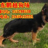 东莞哪里能买到纯种德国牧羊犬图片