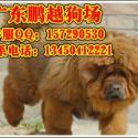 深圳哪里能买到纯种藏獒图片