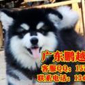 供应珠海边度有卖阿拉斯加 珠海什么地方有卖纯种宠物狗 首选鹏越狗场