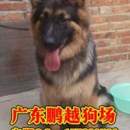 广州哪里能买到纯种德国牧羊犬图片