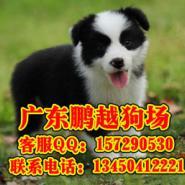 广州哪里能买到健康纯种边境牧羊犬图片