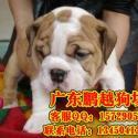 东莞哪里能买到纯种英国斗牛犬图片