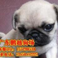 广州哪里能买到纯种巴哥图片