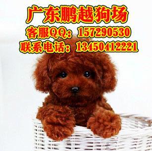珠海边度有卖贵宾犬图片