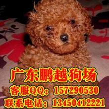供应东莞什么地方有卖纯种贵宾犬 东莞纯种贵宾犬的价格是多少
