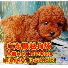 供应深圳什么地方有卖纯种贵宾犬 深圳纯种贵宾犬的价格是多少