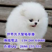 广州市威尼狗场出售健康纯种博美犬图片