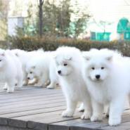 广州威尼狗场出售健康纯种萨摩犬图片