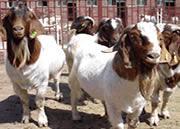 波尔山羊小尾寒羊羔羊价格图片