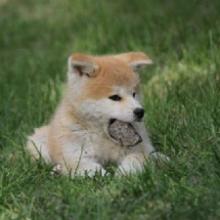 自家繁殖场供应秋田犬看家狩猎的伴侣全国支持淘宝交易广州支持送批发