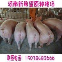 供应二元母猪图片二元猪图片母猪图片批发