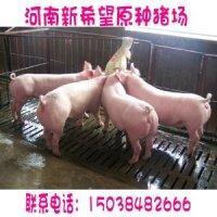 供应二元母猪价格二元母猪价格二元母猪